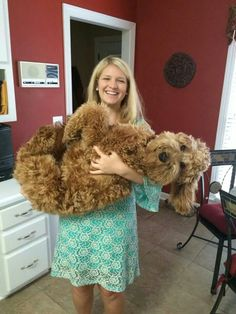 How to influence a dog's personality and behavior Goldendoodle Full Grown, F1b Goldendoodle, Standard Goldendoodle, Labradoodles, Animals And Pets, Funny Animals, Cute Animals, Cute Puppies, Cute Dogs