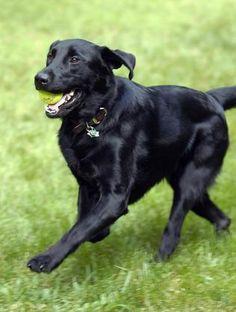 Black Labrador Dog Playing Ball