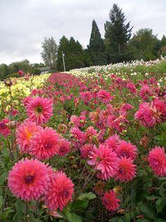How To Stake Dahlias Dahlia And Gardens
