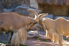 https://flic.kr/p/QFMrYb | Barbary Sheep ~ head- butt |  the  Barbary Sheep (Ammotragus lervia) is a wild sheep well adapated to its natural habitat of the desert mountains of Northern Africa ... during the mating season males are often seen sparring and head-butting in ritualized displays of strength ... they are a threatened species ... photographed at Adelaide Zoological Gardens, South Australia