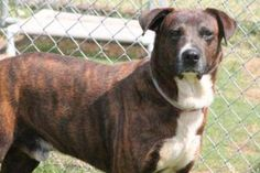 Tibet: Gorgeous boy, heartworm positive, is out of time at high-kill SC shelter
