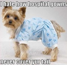 I love Yorkies. Funny Dogs, Funny Animals, Cute Animals, Crazy Animals, Yorkies, Cute Puppies, Cute Dogs, Hospital Humor, Hospital Quotes