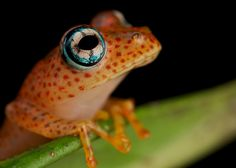 Boophis pyrrhus, a species of bright-eyed frog endemically distributed in Central-eastern Madagascar
