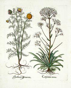 Besler Hortus Eystettensis Prints 1613