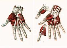29X40cm Muscles Tendons de la Main et des Doigts, Planche Anatomique Corps…