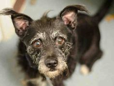 SAFE --- Brooklyn Center   HATCHI - A1021007   MALE, BLACK / WHITE, CAIRN TERRIER, 8 yrs OWNER SUR - EVALUATE, NO HOLD Reason PERS PROB  Intake condition EXAM REQ Intake Date 11/18/2014, From NY 11212, DueOut Date 11/18/2014 https://www.facebook.com/Urgentdeathrowdogs/photos/pb.152876678058553.-2207520000.1416598931./907532575926289/?type=3&theater ++++++++LOVES CHILDREN++++++