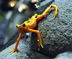 MASSEDØD: Gullfrosken er sannsynligvis utryddet i vill tilstand. Amfibier dør nå ut med en hastighet på 45 000 ganger normalen. Foto: NTB Scanpix