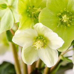 Helleborus - The Christmas Rose (In your home for the Holidays, In your garden for a lifetime)