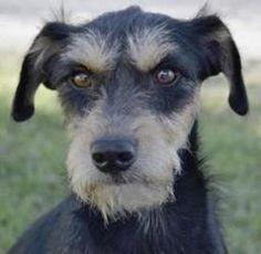 HANNAH is an adoptable Schnauzer Dog in San Antonio, TX.  ...