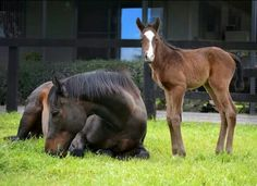 The famous mare 'Black Caviar' with her 'Sebring' colt foal. Caballos Clydesdale, Clydesdale Horses, Thoroughbred Horse, Breyer Horses, Barrel Racing Saddles, Barrel Racing Horses, Horse Racing, Race Horses, Western Pleasure Horses