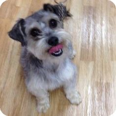 Redondo Beach, CA - Schnauzer (Miniature)/Shih Tzu Mix. Meet Becky a Dog for Adoption.