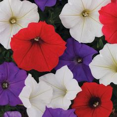 Shock Wave® Volt Mix Petunia Seeds from Park Seed