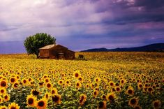 Photo Sunflower field by Reto Imhof on Seasons In The Sun, Provence, Pocket Full Of Sunshine, Sunflowers And Daisies, Happy Flowers, Sun Flowers, Field Of Dreams, Sunflower Fields, Natural Scenery