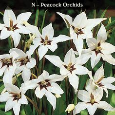 Peacock Orchid - Qty 100 $15.00 - Extend summer with this fragrant late bloomer. White star-shaped flowers with prominent purple centers atop sturdy stems. Easy to grow. Height: 24'' - 36'' Quantity: 100 Bloom: July - October