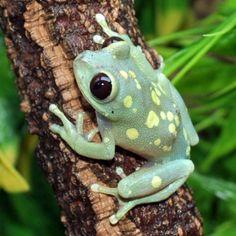 Ruby-Eyed Moon Frogs (Leptopelis uluguruensis)