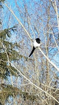 Black-billed Magpie (Pica hudsonia) - beautiful, was alone, from what we could tell - Photo by Cindi Rad - http://www.minnesotaseasons.com/Birds/Black-billed_Magpie.html