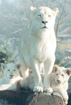 Albino Lioness and Cubs