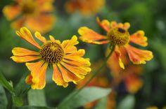 Helenium Moerheim Beauty, late summer flowers