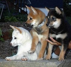 My absolute favorite type of dog! Shiba Inu's! Awesome Dogs. Big dog in a Small dogs body!