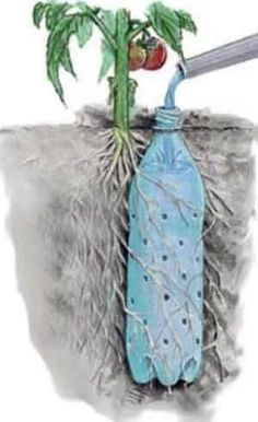 """Soda bottle drip feeder for tomatoes. Good trick. The other trick is to use pvc pipe, cut one end at angle, place in ground angled toward roots, fill pvc pipe with rocks or pea  gravel, then water thru pvc pipe. Thus water goes to the root system & doesn't have to go thru top soil or any other obstacles first.""  Another clever idea."