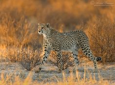 """Cheetah in Gold - A young male cheetah strides along the Nossob river in the Kalahari desert at dawn, with the first rays of sunlight setting the shrubbery around him ablaze.  <a href=""""http://www.morkelerasmus.com/"""">WEBSITE</a> <a href=""""http://www.facebook.com/morkel.erasmus.photo"""">FACEBOOK</a> <a href=""""http://www.google.com/+MorkelErasmus/"""">GOOGLE+</a> <a href=""""http://photography.wild-eye.co.za/ambassadors/morkel-erasmus/"""">PHOTO-SAFARIS</a>  This photo is Copyrighted © Morkel Erasmus..."""