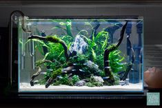Added freshwater fish! Boehlkea Fredcochui aka Blue Tetras were chosen to compliment the vivid green coloration of the aquatic plants.