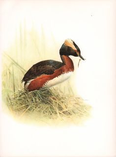 JF Lansdowne Print Book Plate Art Horned Grebe by MakeItBooks