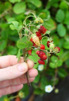 Alpine strawberries Marie Viljoen ; Gardenista