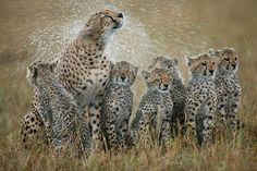 Cheetah-mother-shaking-rain-off-fur-and-soaking-six-cubs-in-the-process-Masai-Mara-Kenya (rare to see so many cubs)
