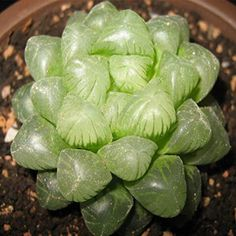 Amazon.com : 60pcs Haworthia Cooperi Seeds Garden Succulent Plants Potting : Patio, Lawn & Garden