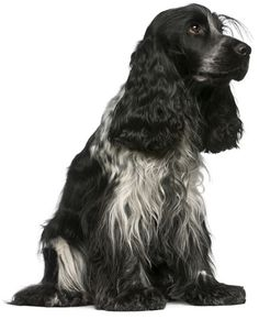 English Cocker Spaniel:   The English Cocker Spaniel is one of the most popular breeds in the world, for many good reasons.