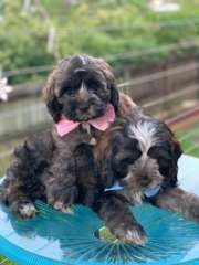 Maltese X Cocker Spaniel Maltese Puppies For Sale Varsity Lakes