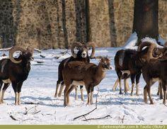 Mouflon alpes