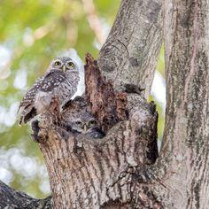Couple Spotted owlet (Athene brama) by Santi foto