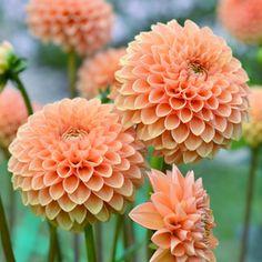 DAHLIA SUNSET - Garden Express                                                                                                                                                      More