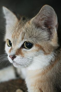 Sand Cat Closeup by Mark Dumont on Flickr.