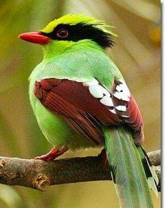 The Common Green Magpie