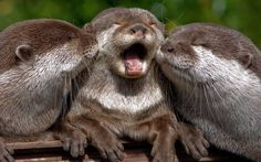 """""""Three otters share an intimate moment as they bask in the sun after tucking into dinner. Amateur photographer Ben Marshall took the photograph while on a visit to Marwell Wildlife Park near Winchester"""""""