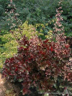 Heuchera 'Crimson Curls'-have this out front.