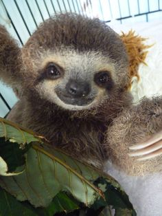 Sloth and leaves