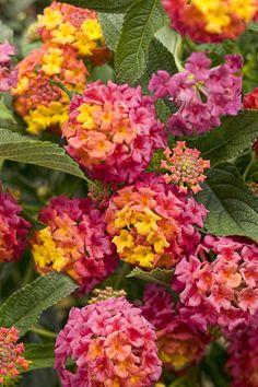 lantana berry blend -- spectacular flower