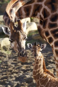 If you ever doubt that God has a sense of humor, just look at a giraffe!