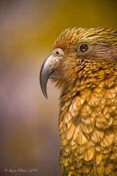 Kea (Nestor notabilis), NZ native alpine parrot near Homer Tunnel, Milford Sound