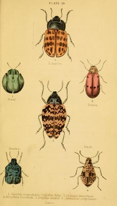 Insects - The natural history of beetles - Biodiversity Heritage Library Botanical Illustration, Botanical Prints, Illustration Art, Nature Illustrations, Historia Natural, Insect Art, Beautiful Bugs, Bugs And Insects, Fauna