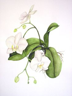 New Images Orchids watercolor Thoughts If you are new to everything about orchids , you needn't be petrified of them. Many orchids is oft Botanical Flowers, Botanical Prints, Art Floral, Watercolor Flowers, Watercolor Paintings, Orchid Drawing, Orchids Painting, Impressions Botaniques, Illustration Botanique