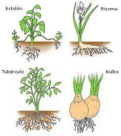 LA REPRODUCCIÓN EN PLANTAS (MULTIPLICACION VEGETATIVA NATURAL)