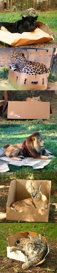 Even big cats love boxes