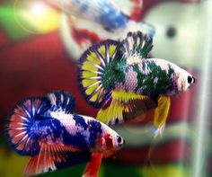Wow! ♥ Look at these fabulous marble Betta! What's your fave?
