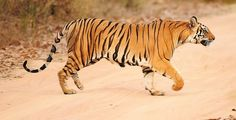 Bengal tigers - they're endangered :(
