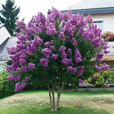 Amazing Purple Blooms on a Low Maintenance Crape Myrtle - - The darkest purple on a crape myrtle!  - Low maintenance  - Highly drought tolerant   The royal purple colors of the Twilight Crape Myrtle have been difficult to find until now!   With large, lightly fragrant flower clusters that bloom from early June until frost, it can be grown as a broad...